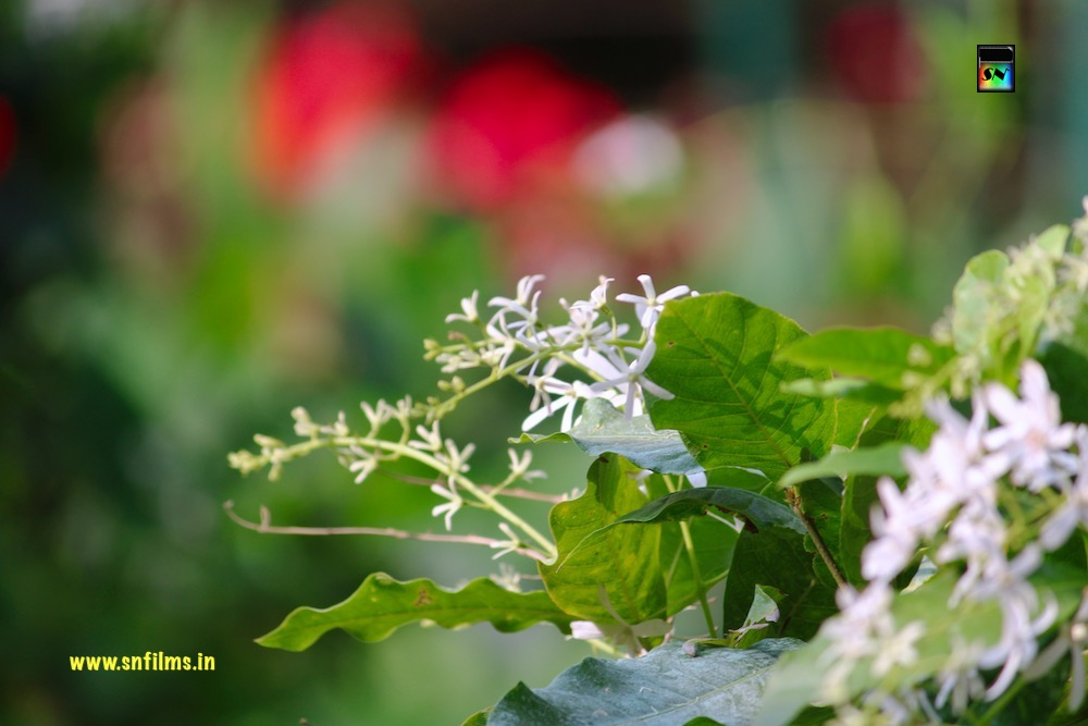 white flowers - purity and peace - natural flowers photography - snfilms