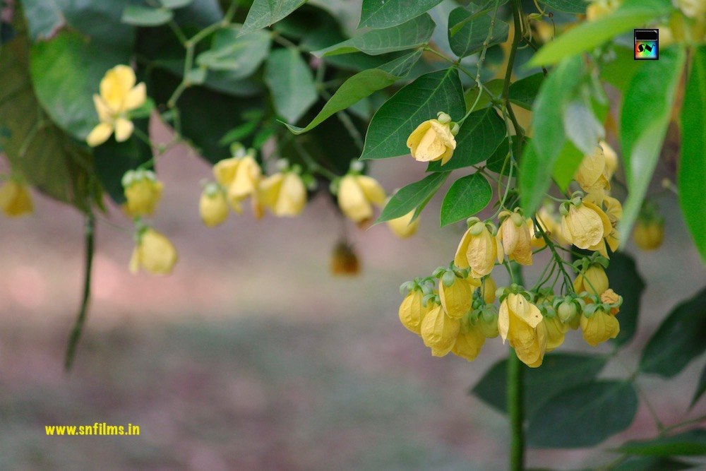 Yellow beautiful flower photography snfilms by Sanjib Nath