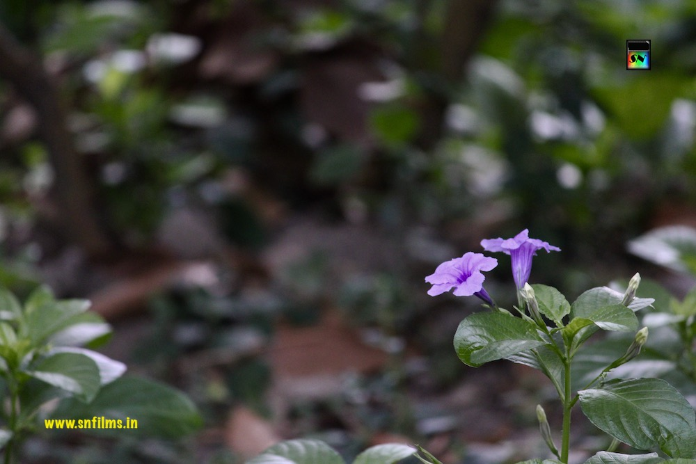 twin flowers - violet color - nature photography - sanjib nath - sn films