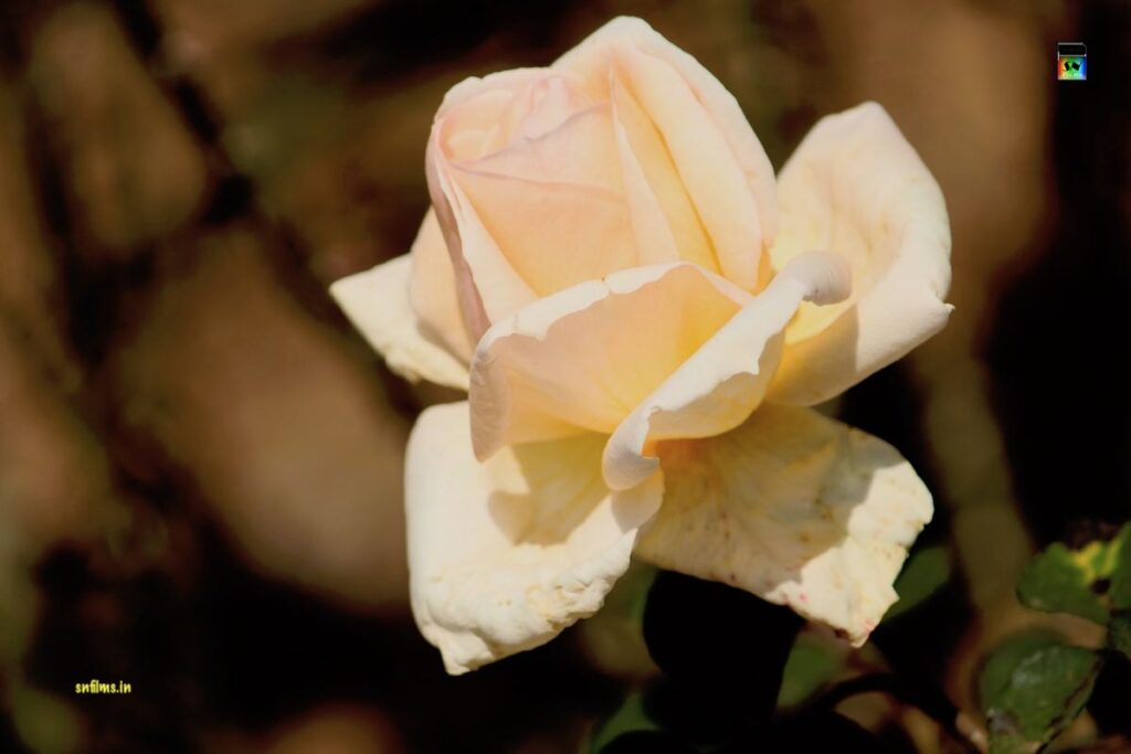 Cream color rose from Ooty rose garden - photography by Sanjib Nath from SN Films Performing Arts