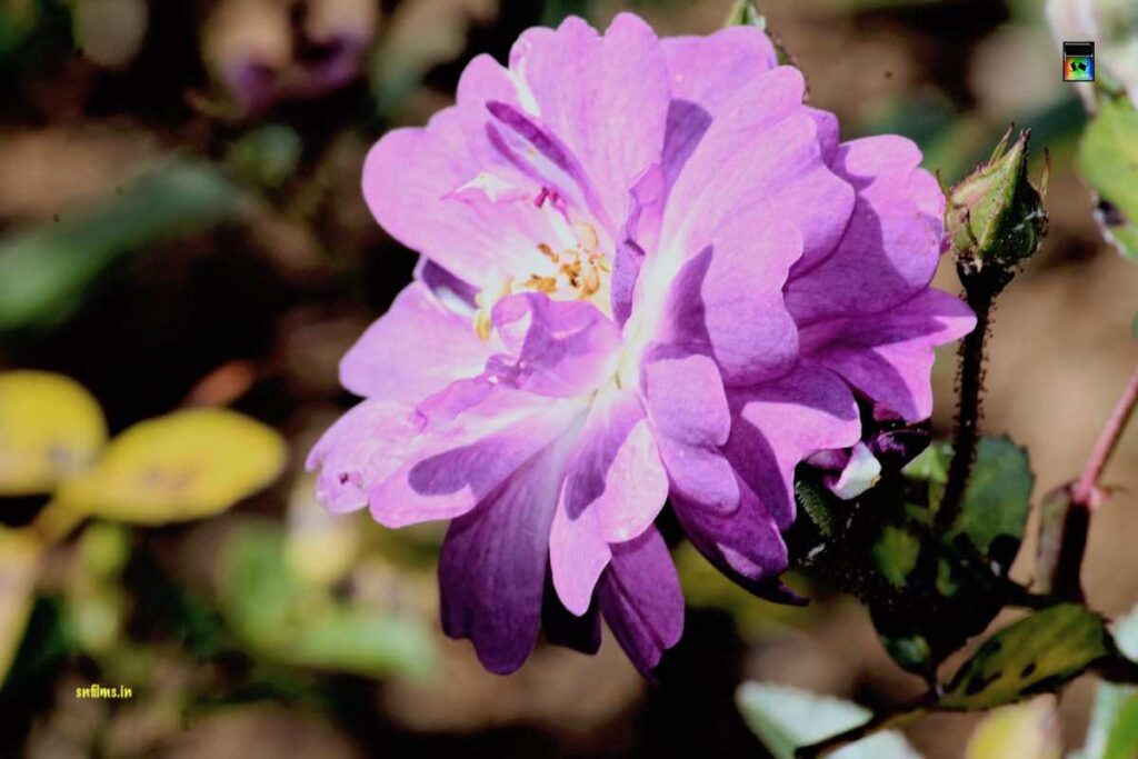 Light purple rose from ooty rose garden - photography - Sanjibh Nath from SN Films