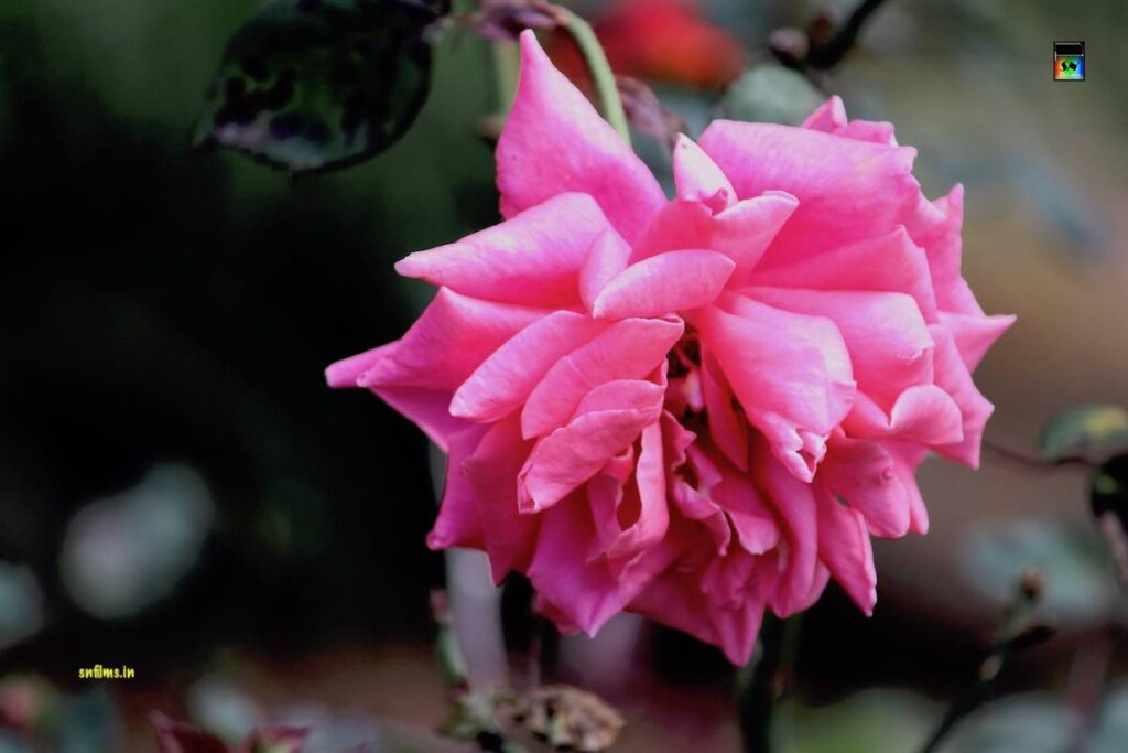 Traditional Pink Rose - Ooty Govt Rose Garden - Photography Sanjib Nath