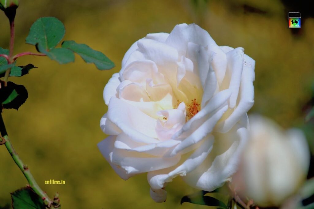 Check out the Fresh Magnificent White Rose photography by Sanjib Nath from SN FILMS