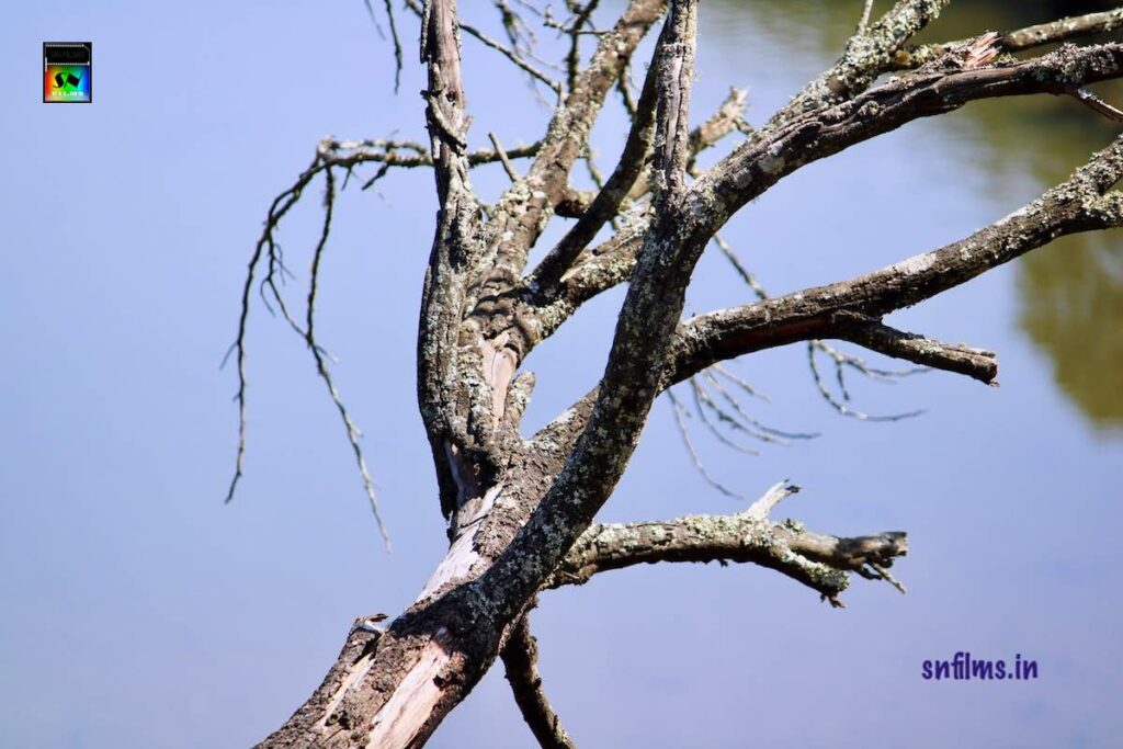 Tree without leaf - dead tree - ooty pykara lake - sanjib nath - photography